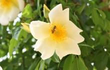 L'ape sulla rosa